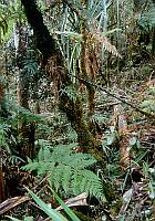 Tropical primary forest, West Papua (2002)